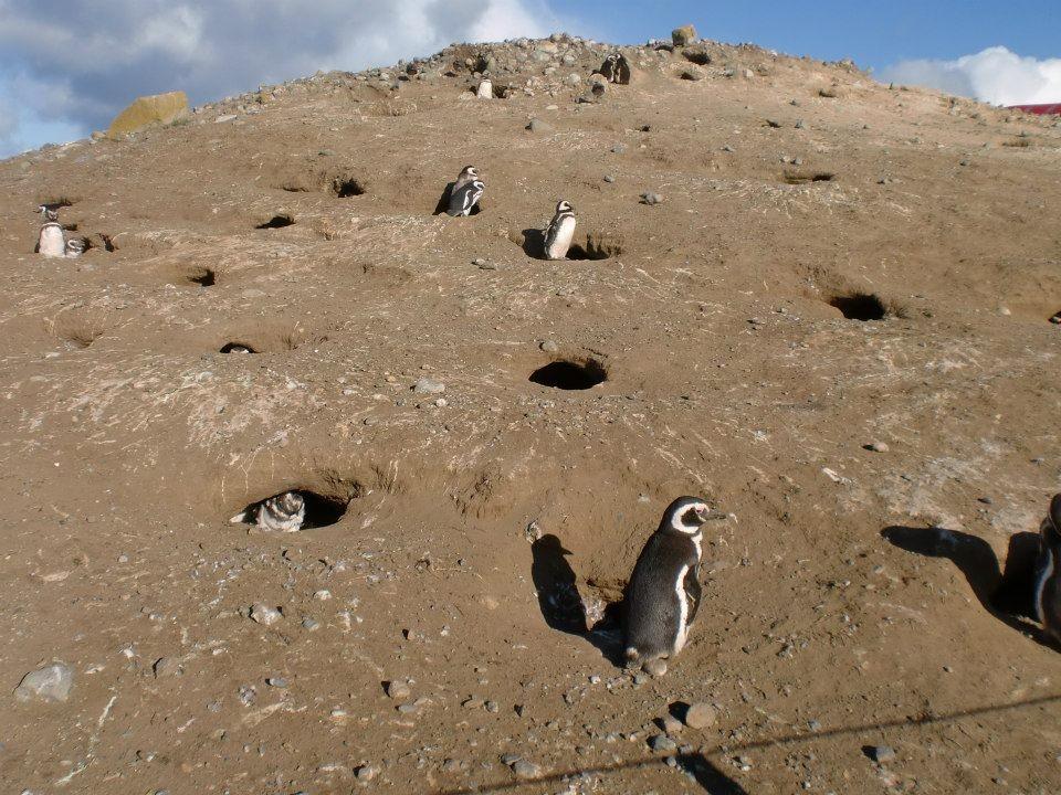 Colonie de pingouin sur l'ile Magdalena