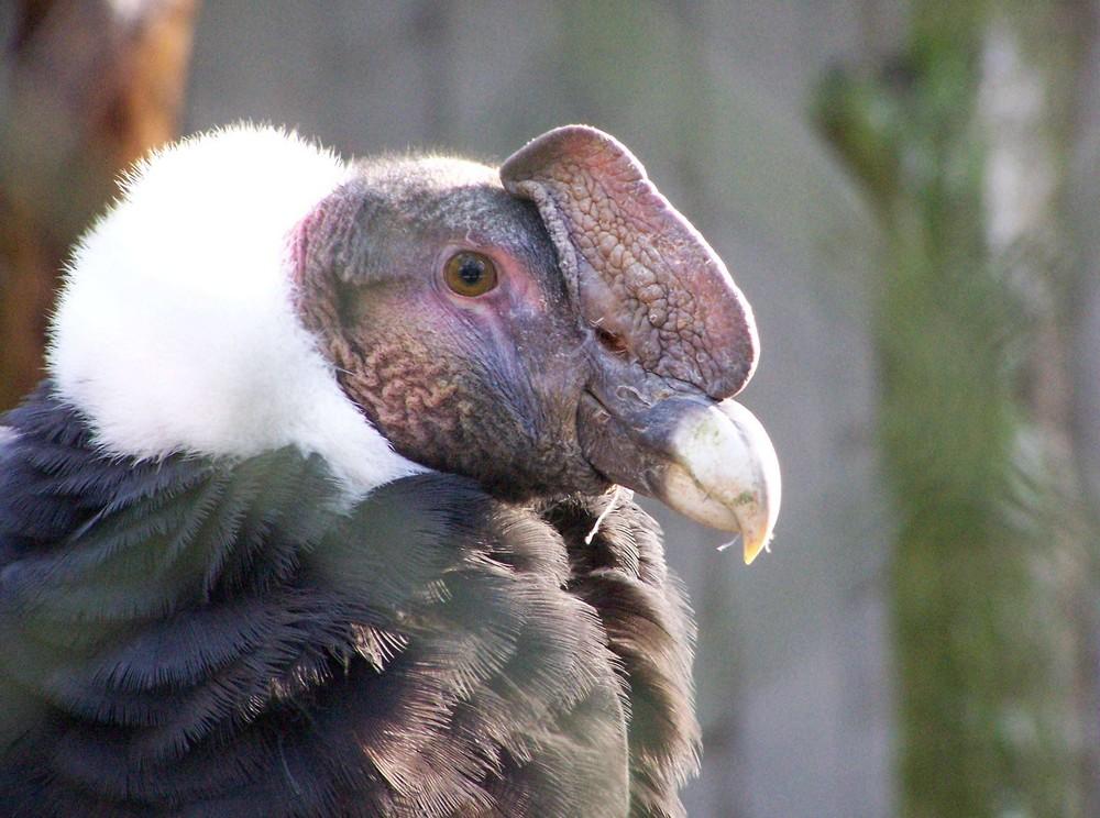 Condor de Patagonie