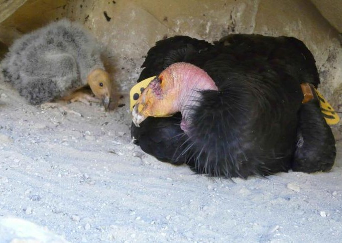 Observation famille condors