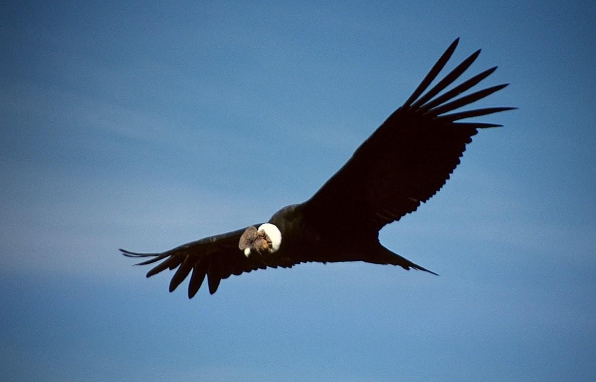 Observation condors